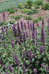 Blue Boa Hyssop (Agastache 'Blue Boa') at Echter's Nursery & Garden Center