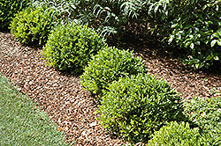 Green Velvet Boxwood (Buxus 'Green Velvet') at Echter's Nursery & Garden Center