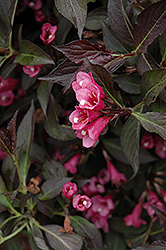 Spilled Wine® Weigela (Weigela florida 'Bokraspiwi') at Echter's Nursery & Garden Center