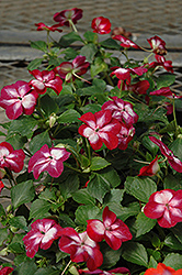Patchwork Cosmic Burgundy Impatiens (Impatiens 'Patchwork Cosmic Burgundy') at Echter's Nursery & Garden Center