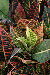 Variegated Croton (Codiaeum variegatum 'var. pictum') at Echter's Nursery & Garden Center