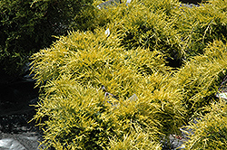 Sea Of Gold Juniper (Juniperus x media 'Sea Of Gold') at Echter's Nursery & Garden Center