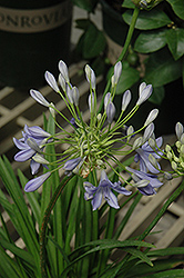 Midnight Blue Agapanthus (Agapanthus 'Midnight Blue') at Echter's Nursery & Garden Center