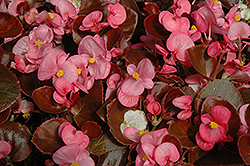 Nightife Rose Begonia (Begonia 'Nightlife Rose') at Echter's Nursery & Garden Center