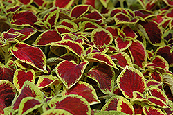 Wizard Scarlet Coleus (Solenostemon scutellarioides 'Wizard Scarlet') at Echter's Nursery & Garden Center