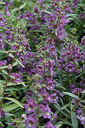 Alonia Dark Blue Angelonia (Angelonia angustifolia 'Alonia Dark Blue') at Echter's Nursery & Garden Center