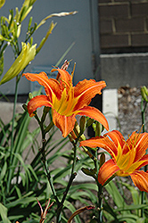 Orange Daylily (Hemerocallis fulva) at Echter's Nursery & Garden Center