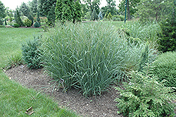 Heavy Metal Blue Switch Grass (Panicum virgatum 'Heavy Metal') at Echter's Nursery & Garden Center