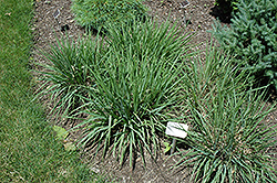 Purple Lovegrass (Eragrostis spectabilis) at Echter's Nursery & Garden Center