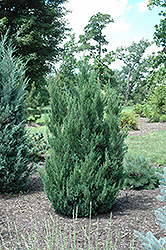 Blue Point Juniper (Juniperus chinensis 'Blue Point') at Echter's Nursery & Garden Center