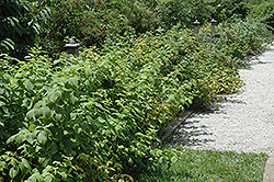 Heritage Raspberry (Rubus 'Heritage') at Echter's Nursery & Garden Center