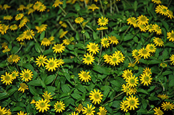 Sunvy Top Gold Creeping Zinnia (Sanvitalia procumbens 'Sunvy Top Gold') at Echter's Nursery & Garden Center