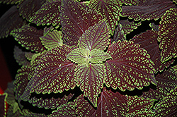 Abbey Road Coleus (Solenostemon scutellarioides 'Abbey Road') at Echter's Nursery & Garden Center