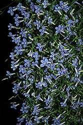 Bella Aqua Lobelia (Lobelia erinus 'Bella Aqua') at Echter's Nursery & Garden Center