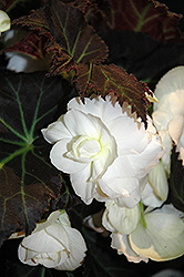 Nonstop® Mocca White Begonia (Begonia 'Nonstop Mocca White') at Echter's Nursery & Garden Center