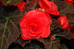 Nonstop® Mocca Cherry Begonia (Begonia 'Nonstop Mocca Cherry') at Echter's Nursery & Garden Center