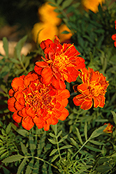 Alumia Red Marigold (Tagetes patula 'Alumia Red') at Echter's Nursery & Garden Center