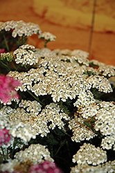 New Vintage White Yarrow (Achillea millefolium 'Balvinwite') at Echter's Nursery & Garden Center