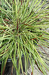 Burgundy Bunny Dwarf Fountain Grass (Pennisetum alopecuroides 'Burgundy Bunny') at Echter's Nursery & Garden Center