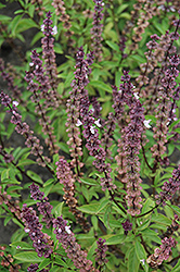 Thai Basil (Ocimum basilicum 'Thai') at Echter's Nursery & Garden Center