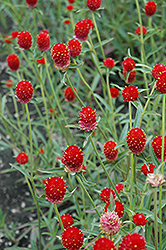 Qis Red Gomphrena (Gomphrena 'Qis Red') at Echter's Nursery & Garden Center