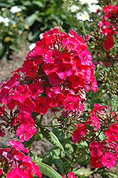 Red Flame Garden Phlox (Phlox paniculata 'Red Flame') at Echter's Nursery & Garden Center