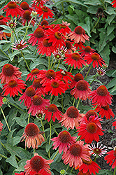 Sombrero Salsa Red Coneflower (Echinacea 'Sombrero Salsa Red') at Echter's Nursery & Garden Center