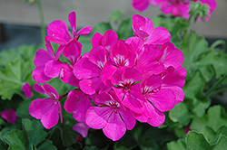 Caliente Lavender Geranium (Pelargonium 'Caliente Lavender') at Echter's Nursery & Garden Center