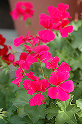 Caliente Rose Geranium (Pelargonium 'Caliente Rose') at Echter's Nursery & Garden Center