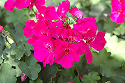 Calliope Lavender Rose Geranium (Pelargonium 'Calliope Lavender Rose') at Echter's Nursery & Garden Center