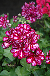 Great Balls of Fire Burgundy Blaze Ivy Leaf Geranium (Pelargonium peltatum 'Great Balls of Fire Burgundy Blaze') at Echter's Nursery & Garden Center