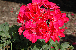 Savannah Punch Geranium (Pelargonium 'Savannah Punch') at Echter's Nursery & Garden Center