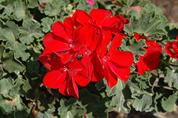 Savannah Really Red Geranium (Pelargonium 'Savannah Really Red') at Echter's Nursery & Garden Center