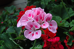 Rocky Mountain Light Pink Geranium (Pelargonium 'Rocky Mountain Light Pink') at Echter's Nursery & Garden Center