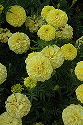 Lady Primrose Marigold (Tagetes erecta 'Lady Primrose') at Echter's Nursery & Garden Center