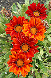 New Day Clear Red Shades (Gazania 'New Day Red Shades') at Echter's Nursery & Garden Center