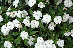 Divine™ White New Guinea Impatiens (Impatiens hawkeri 'Divine White') at Echter's Nursery & Garden Center