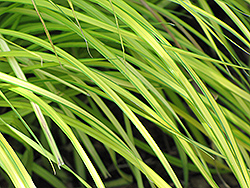 Bowles Golden Sedge (Carex elata 'Bowles Golden') at Echter's Nursery & Garden Center