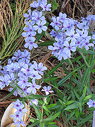 Chattahoochee Phlox (Phlox divaricata 'Chattahoochee') at Echter's Nursery & Garden Center