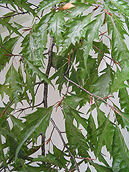 Cutleaf Beech (Fagus sylvatica 'Asplenifolia') at Echter's Nursery & Garden Center