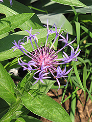 Blue Cornflower (Centaurea montana 'Blue') at Echter's Nursery & Garden Center