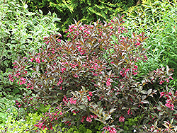 Midnight Wine® Weigela (Weigela florida 'Elvera') at Echter's Nursery & Garden Center