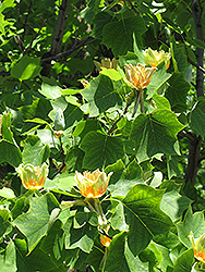 Tuliptree (Liriodendron tulipifera) at Echter's Nursery & Garden Center