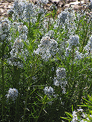 Narrow-Leaf Blue Star (Amsonia hubrichtii) at Echter's Nursery & Garden Center