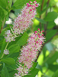 Ruby Spice Summersweet (Clethra alnifolia 'Ruby Spice') at Echter's Nursery & Garden Center