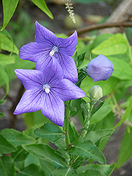 Balloon Flower (Platycodon grandiflorus) at Echter's Nursery & Garden Center