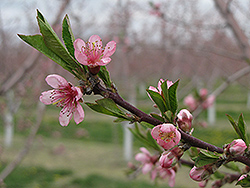 Flavortop Nectarine (Prunus persica 'Nucipersica') at Echter's Nursery & Garden Center