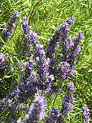 Grosso Lavender (Lavandula x intermedia 'Grosso') at Echter's Nursery & Garden Center