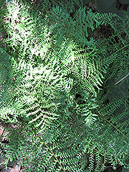 Male Fern (Dryopteris filix-mas) at Echter's Nursery & Garden Center