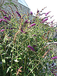 Black Knight Butterfly Bush (Buddleia davidii 'Black Knight') at Echter's Nursery & Garden Center